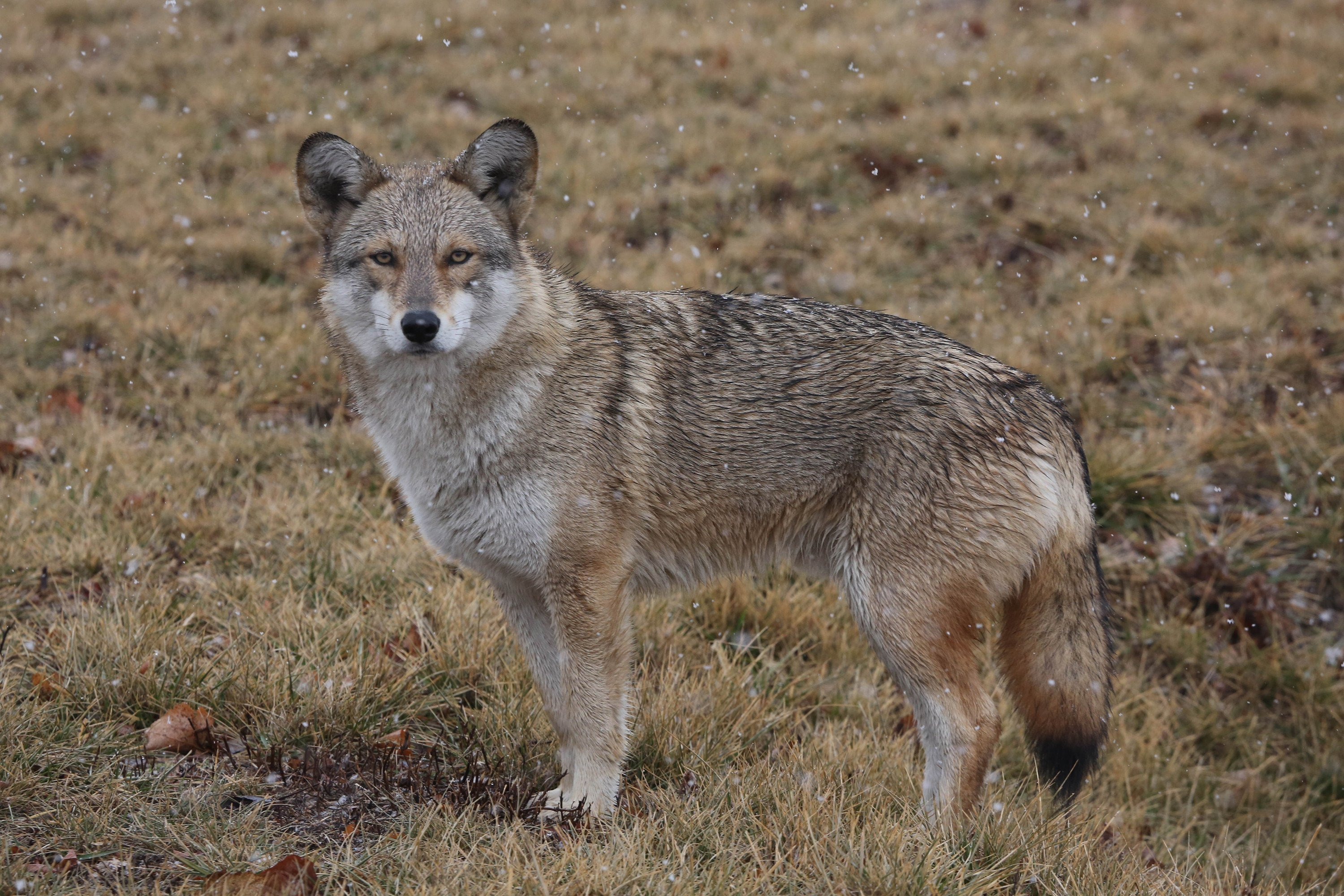 Activists scramble to save last orphaned coyote