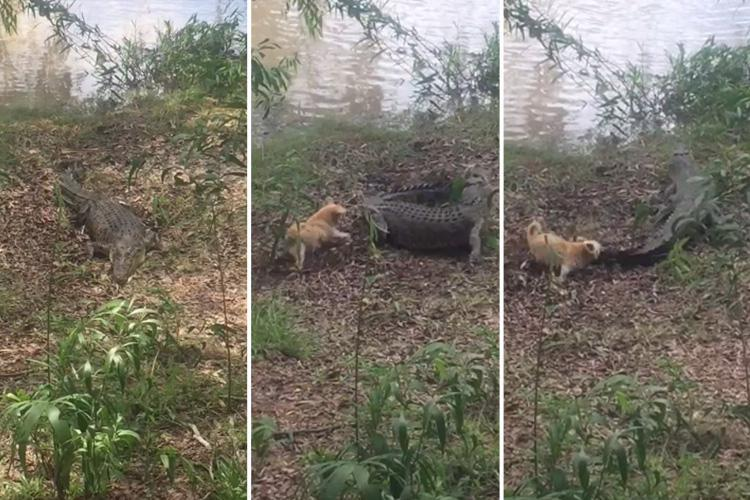 Incredible moment tiny dog battles an 11FT crocodile… and even chases the terrified monster back into a river