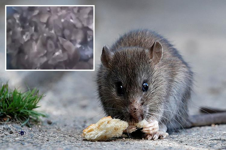 Horrific footage shows mass build-up of savage rats who 'jump for the throat' causing shock in Paris