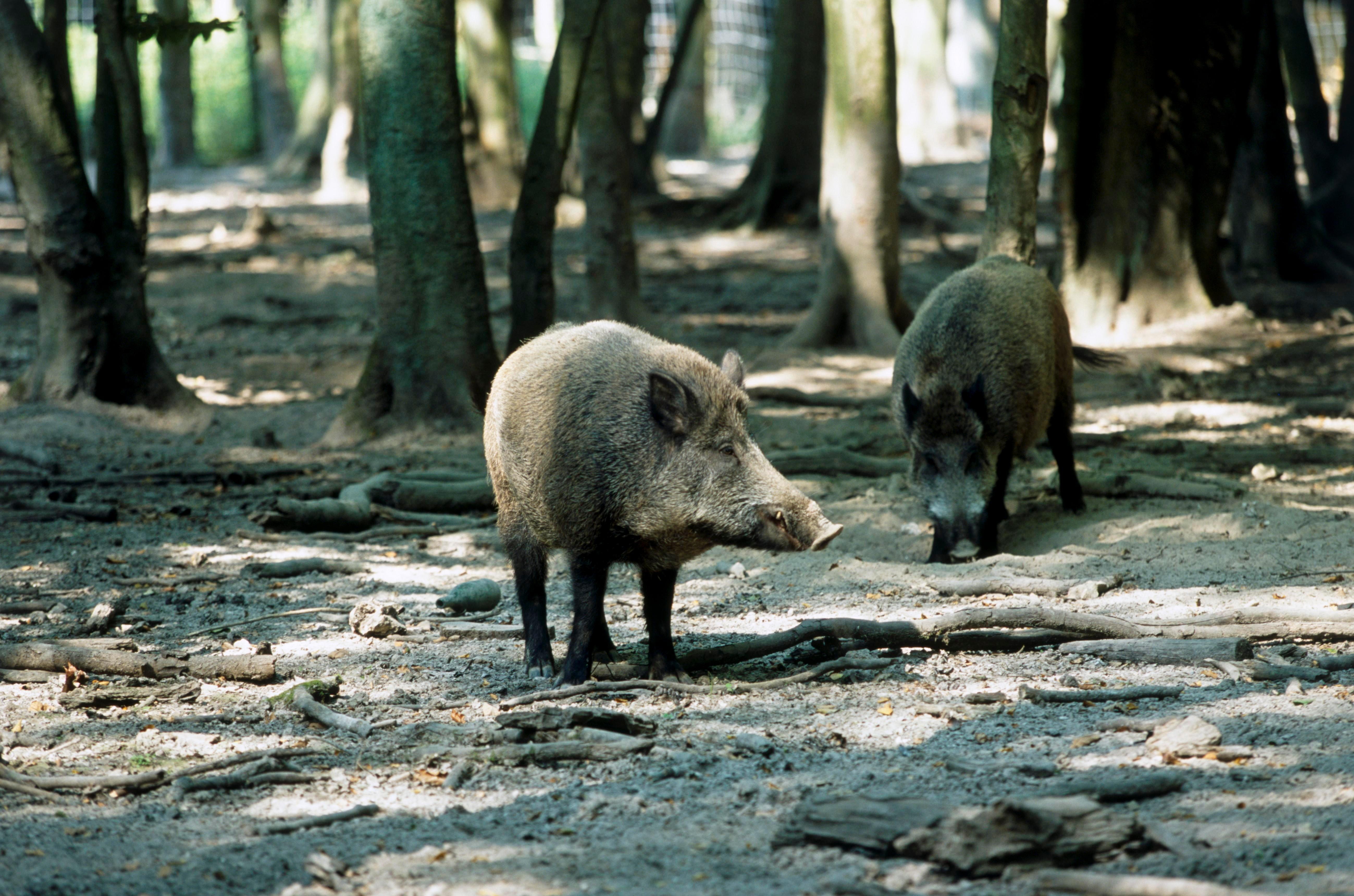 Randy wild boars are causing so much damage to cars and property in Belgium that local MPs have demanded they're put on the pill