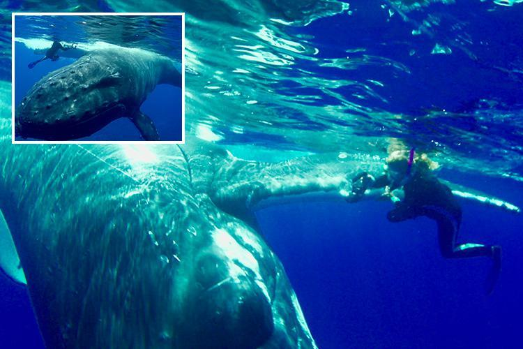 Incredible moment humpback whale protects snorkeler from shark by hiding her under its massive fin