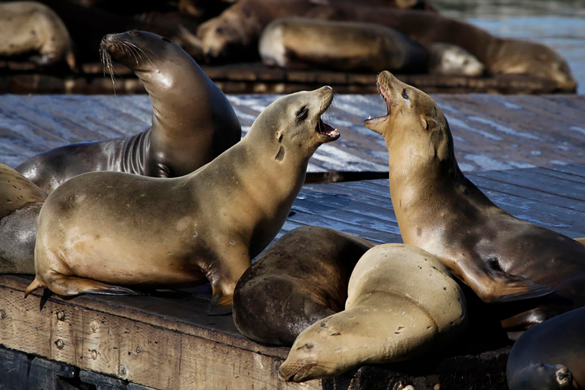 Sea lions keep attacking tourists in San Francisco