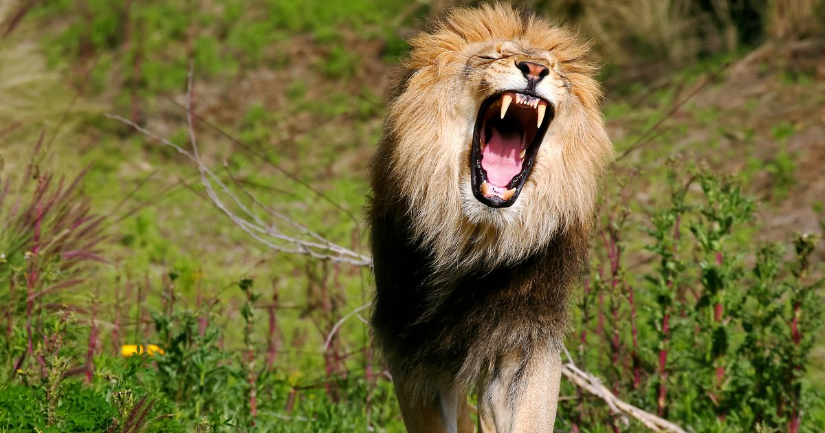 'Poacher' killed and eaten by pride of lions 'he was hunting' at game reserve