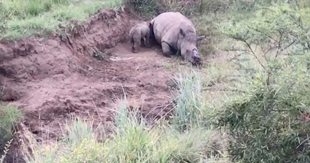 Starving baby rhino tries to suckle from its dead mum who was killed by poachers