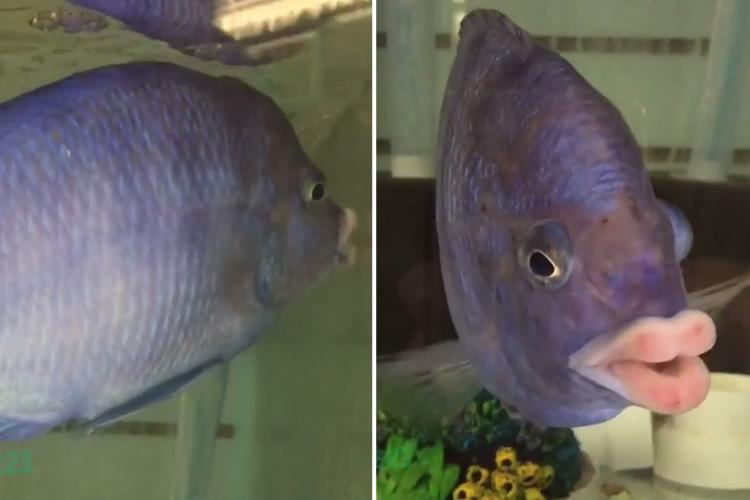 Meet the fish with the perfect pout thanks to lips that look almost HUMAN