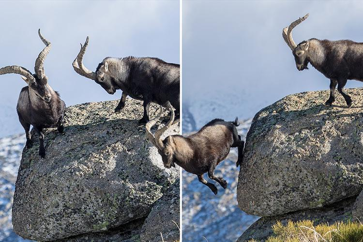 Mountain goat plunges to its death after epic cliff-top battle with rival