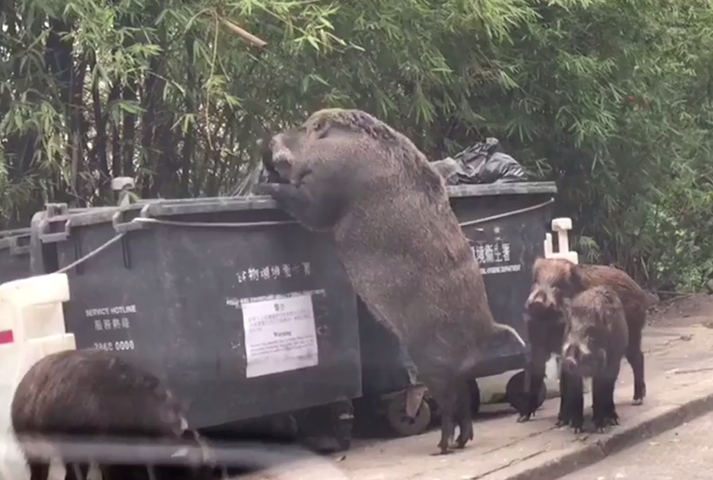 Is this wild boar the biggest you've ever seen? Gigantic porky beast towers over its pals as it stands on its back legs to eat rubbish out of a bin
