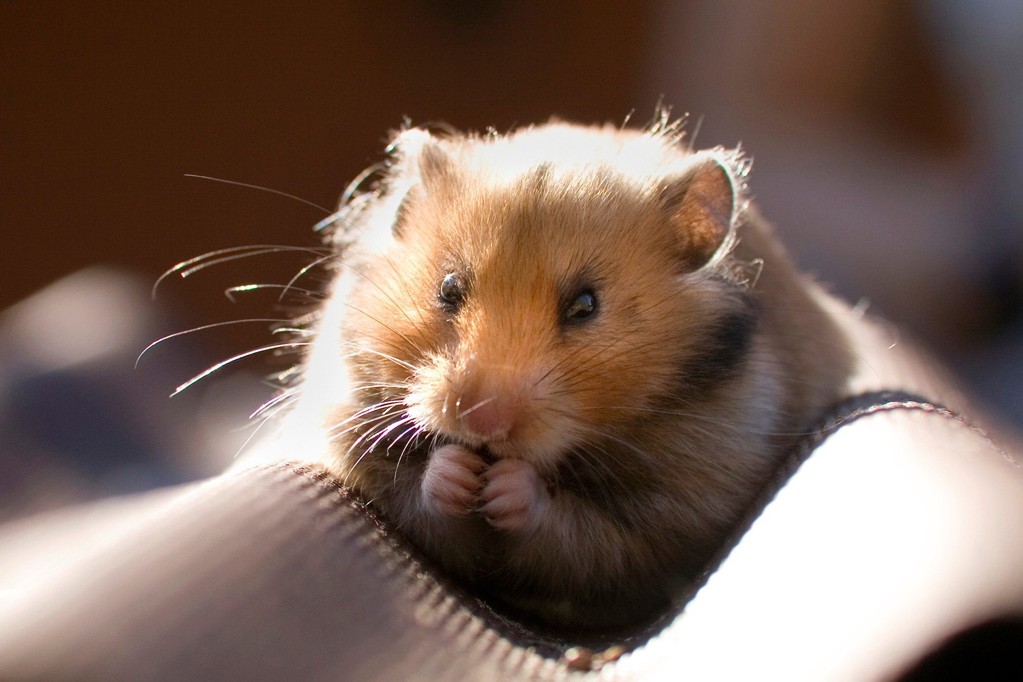 College student says airline made her flush prized hamster down toilet