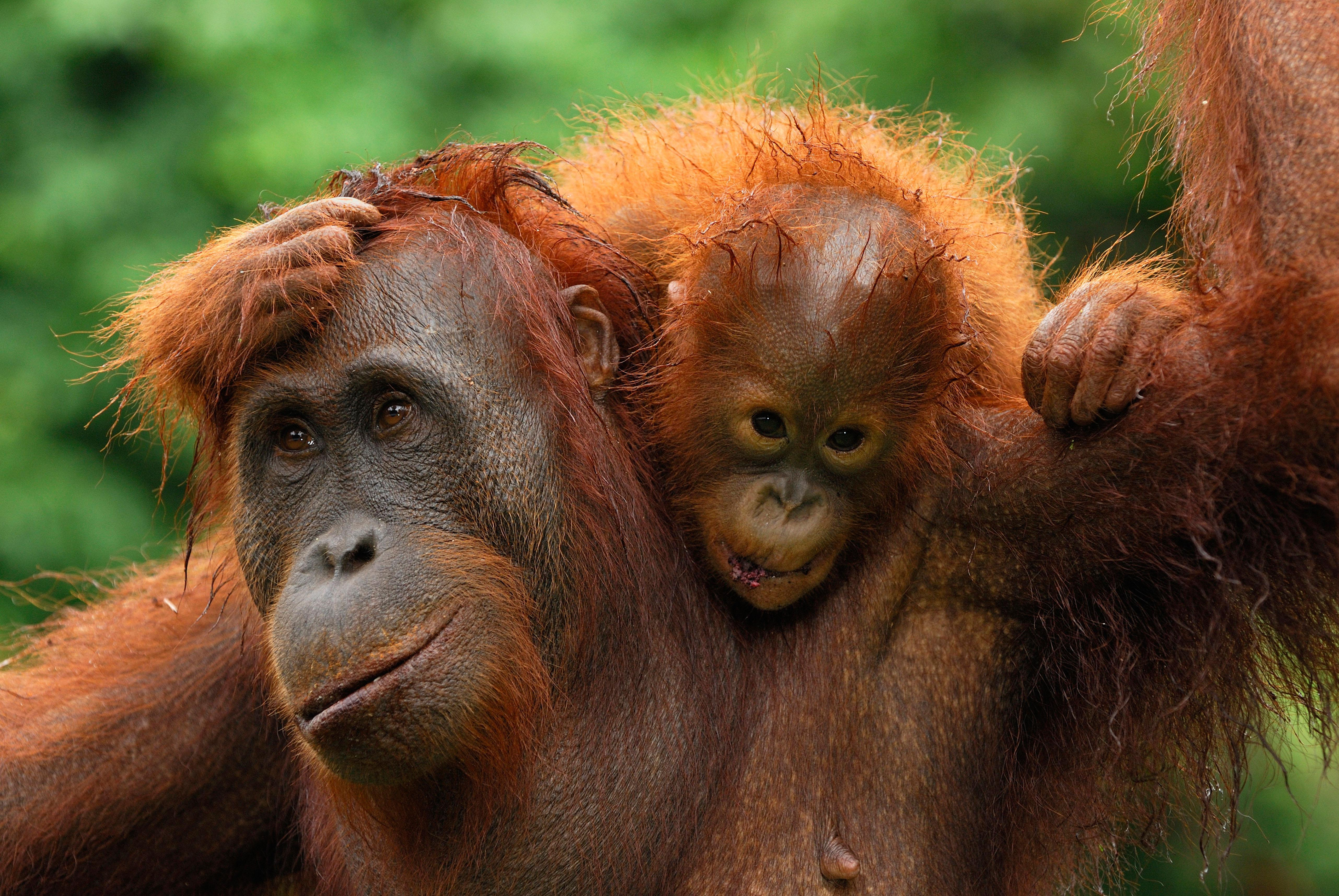 150,000 Borneo orangutans CULLED by shameful hunters and palm oil farmers in just 16 years on paradise island