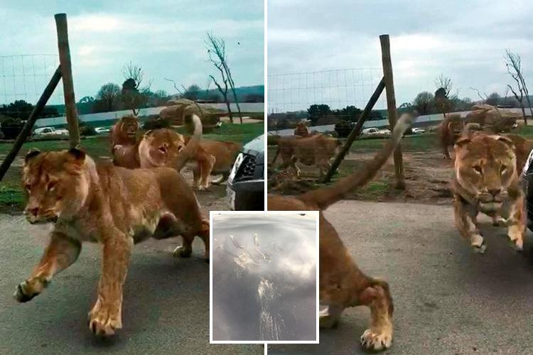 Terrifying moment pride of lions charge towards family's car at West Midlands Safari Park and leap on the roof leaving it damaged