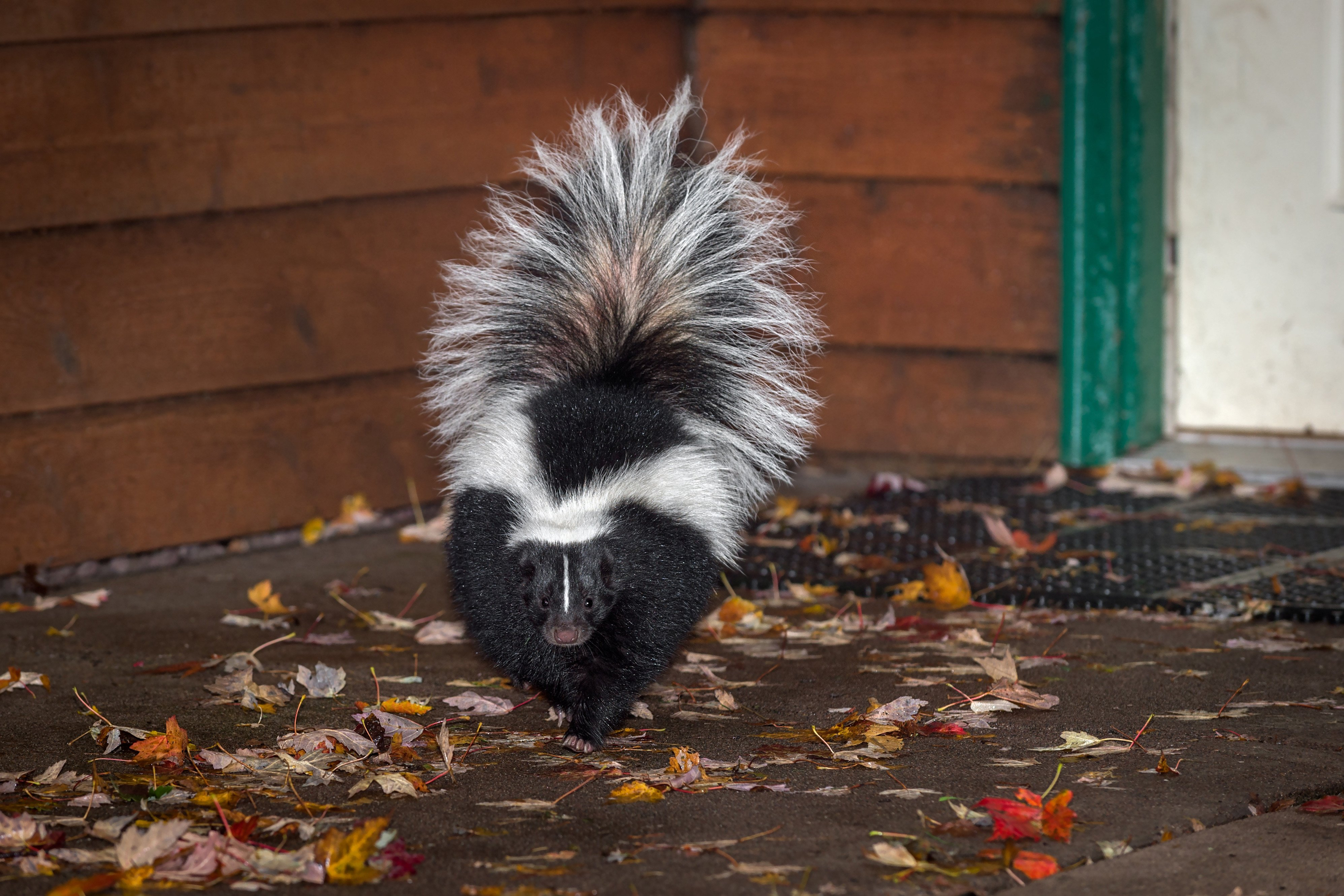 Man burns down home trying to get rid of skunks
