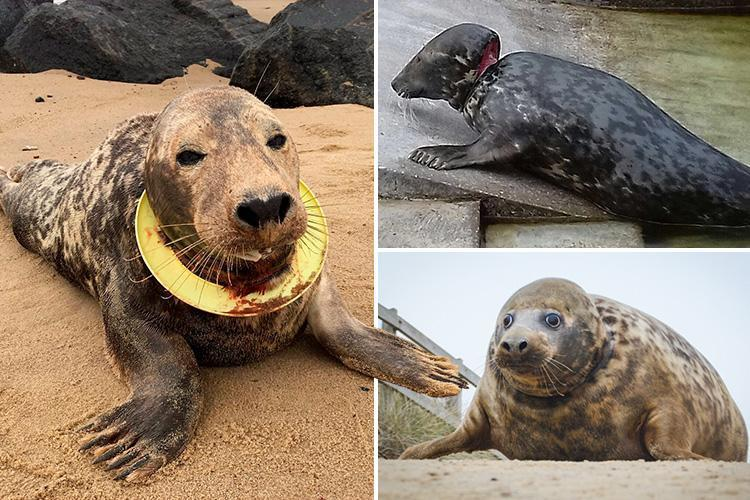 Seal who had frisbee stuck around her neck is released back into the wild after incredible recovery