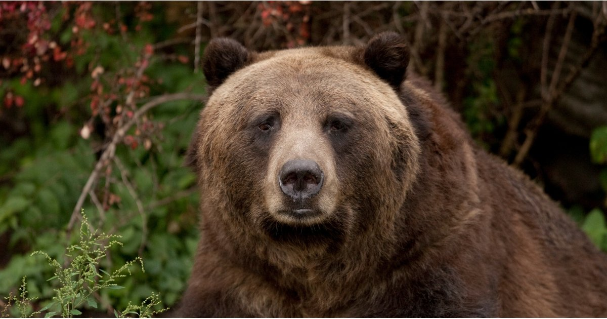 Maybe Trump Will Believe in Climate Change After Learning This Fact About Grizzly Bears