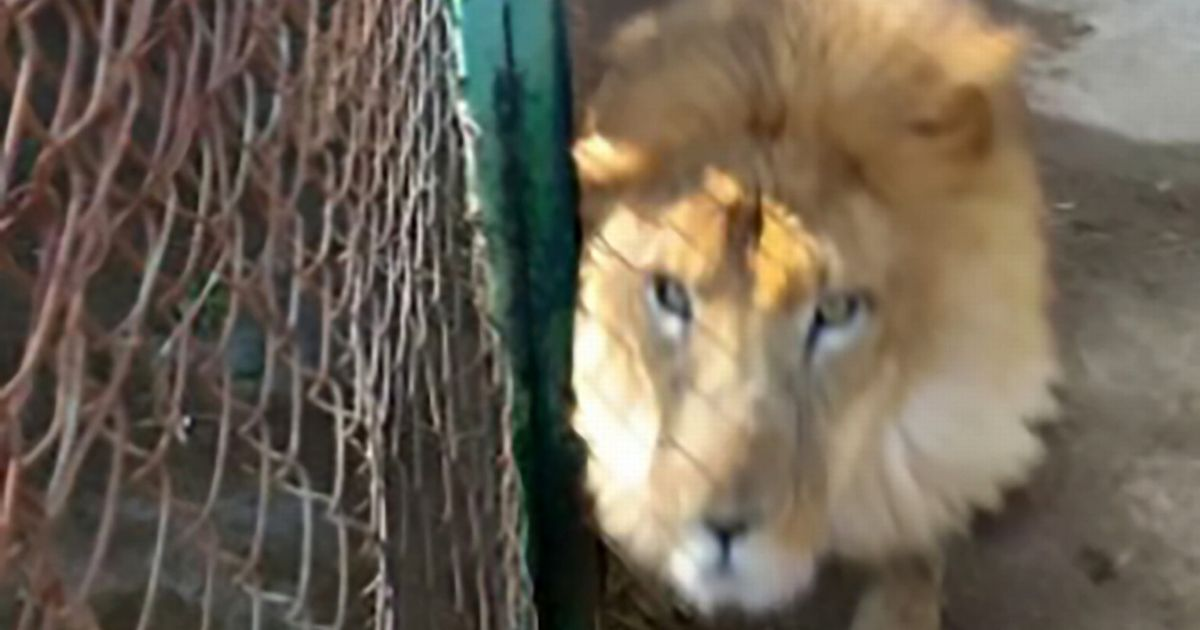 Zookeeper mauled to death by lion when he forgot to lock enclosure