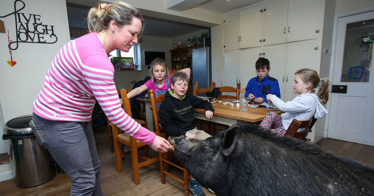 Husband comes home to find 20-stone runaway pig has become part of the family