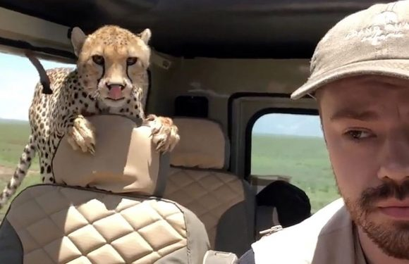 Tourist gets shock of life when cheetah climbs inside jeep during safari