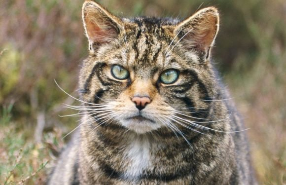 One of the largest wildcats ever recorded has been discovered in Scottish forest