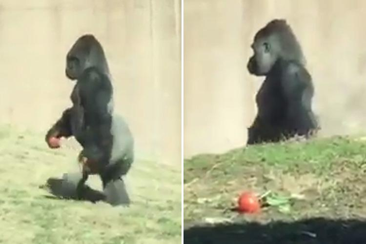 This gorilla strolls around like a HUMAN to avoid getting his hands – or his food – dirty
