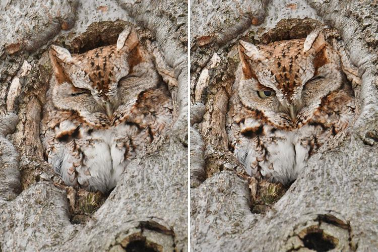 Hidden owl scowls at photographer who woke him up – before nodding off again