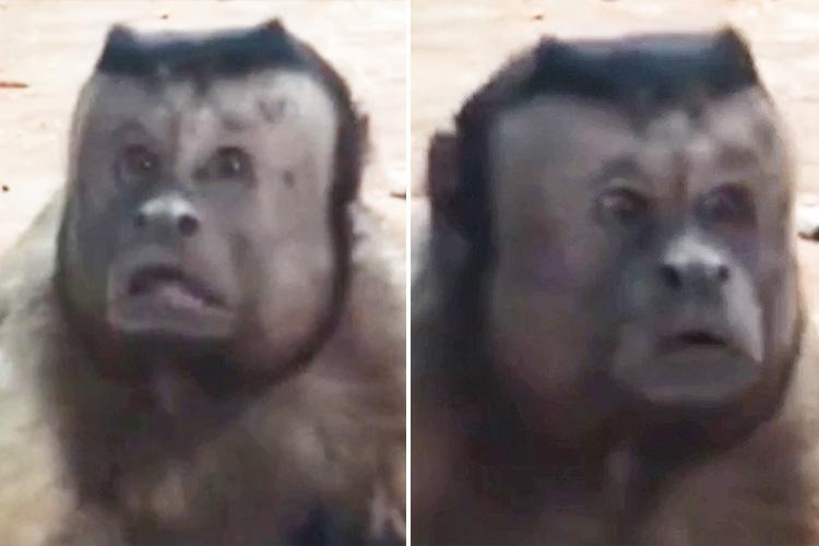 Monkey with a human face breaks the internet with its incredible expressions just like a 'distressed man'