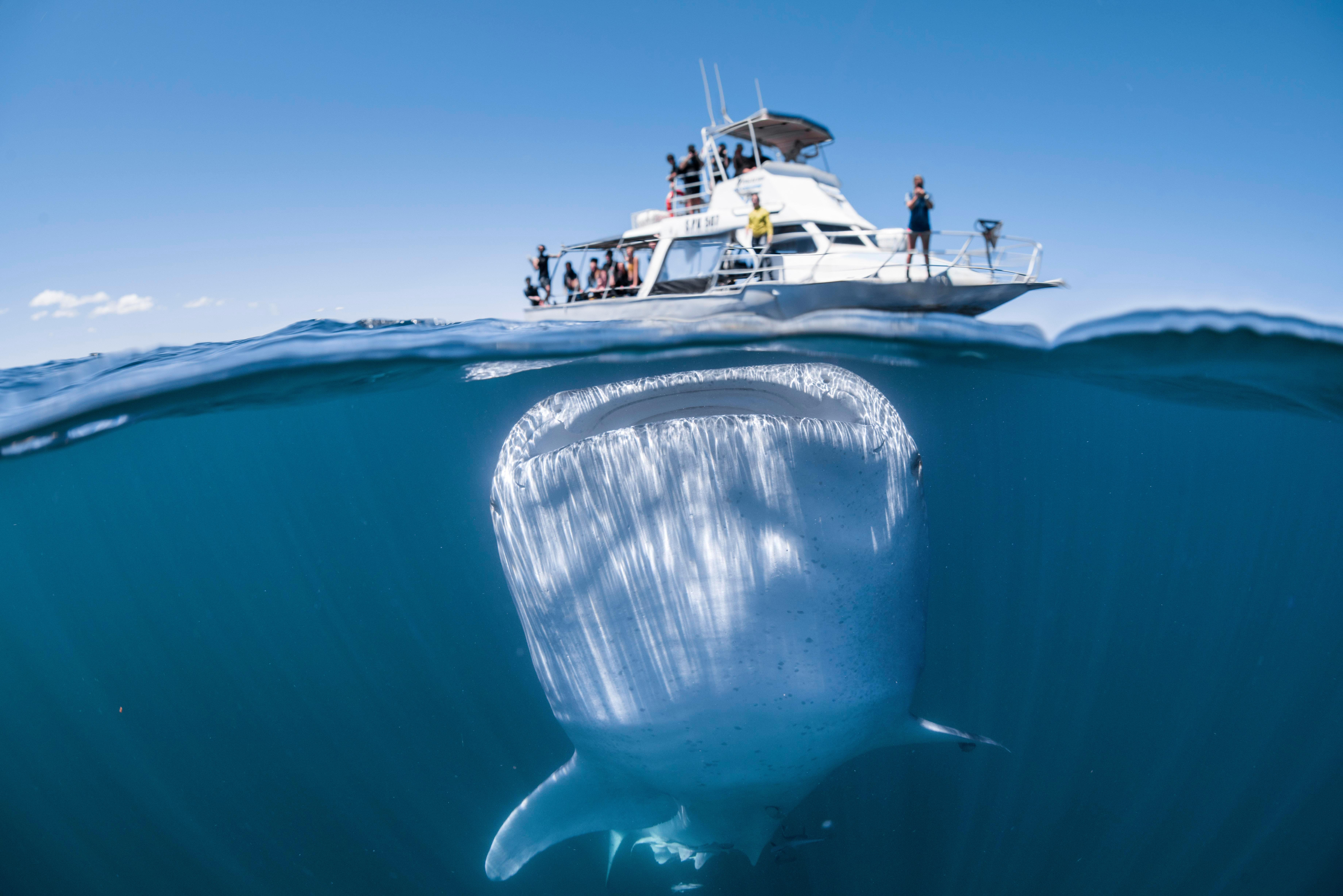 Incredible picture captured moment huge whale shark loomed underneath a boat of clueless tourists