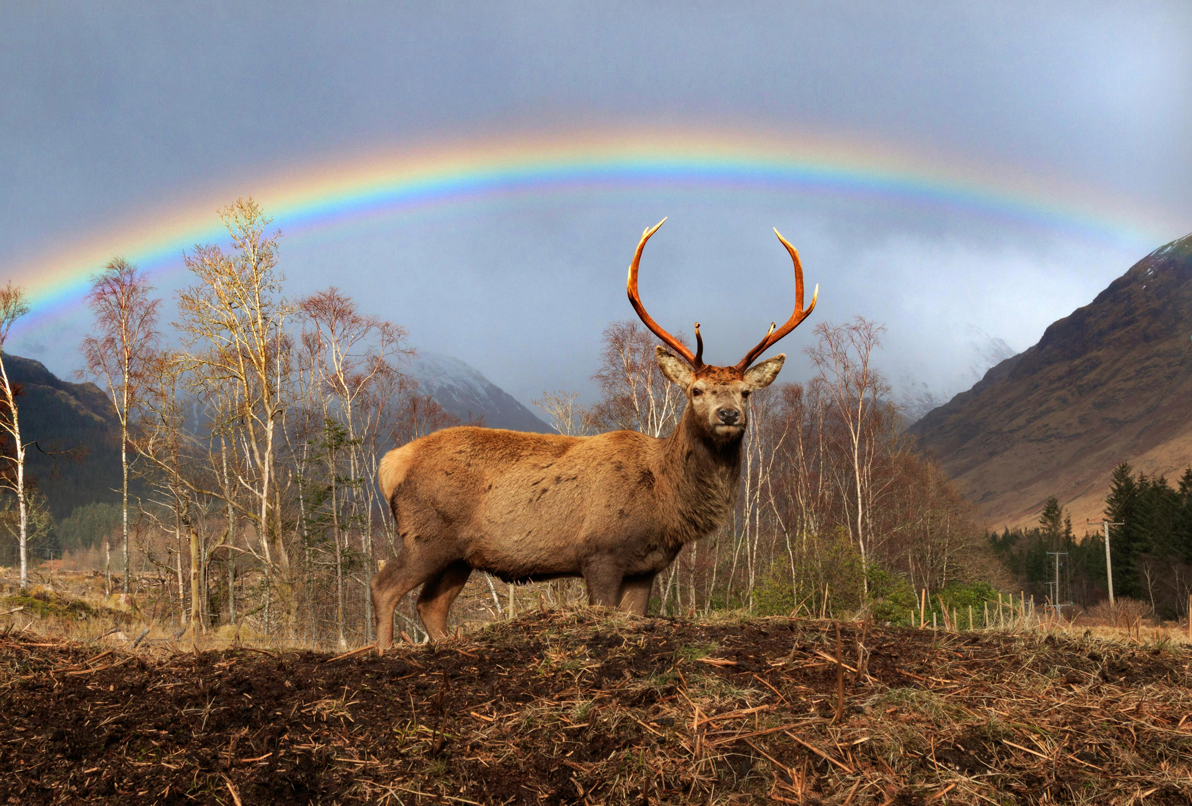 Breathtaking photos show lone stag beneath picture-perfect rainbow in the Scottish Highlands