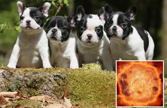 What is parvovirus? Second deadly dog disease sweeps UK after Alabama Rot deaths