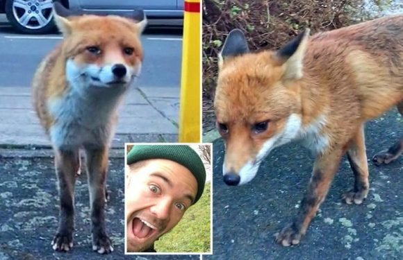 Cheeky fox snatches wallet from under man's nose and runs off after he gets too close in hilarious Snapchat video