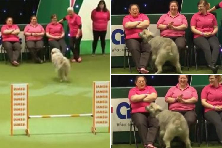 Confused dog Kratu has no idea what he's doing at Crufts – and the crowd love him
