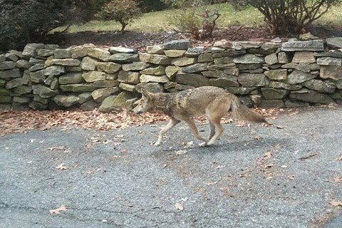 Rabid coyote killed after suspected biting spree