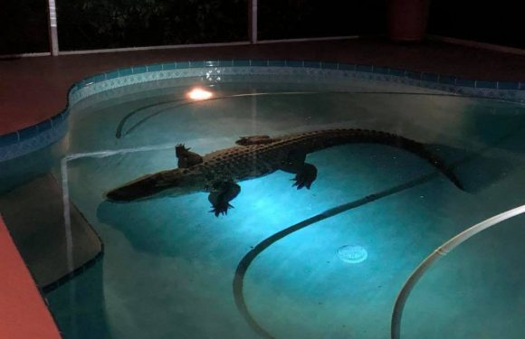 Alligator takes a dip in swimming pool, terrifies family