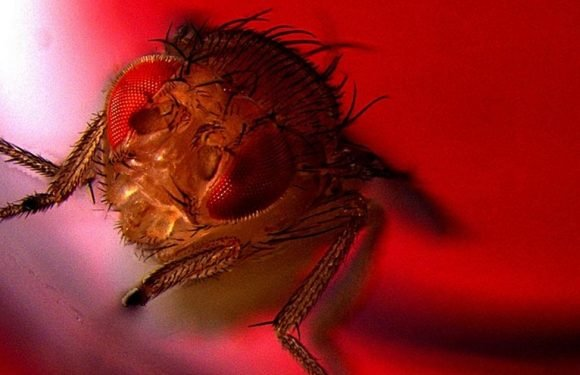 Scientists genetically engineer fruit flies to ejaculate under red light