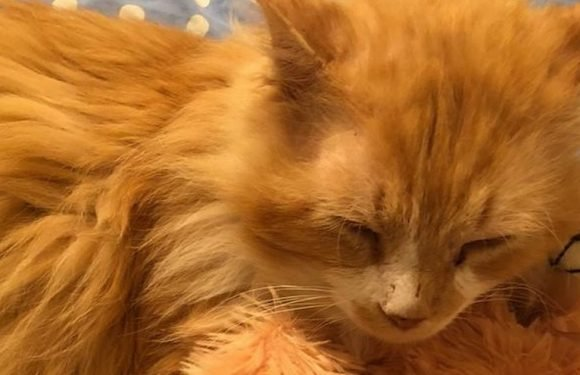 Cat walks 12 miles to find his family – but they just ask for him to be put down