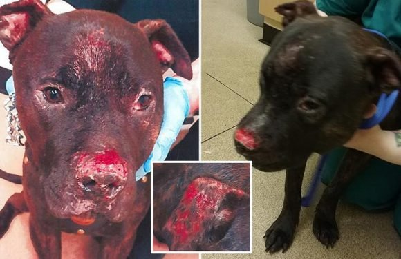 Bloody pictures show horrific injuries to Staffie after owner bit off its nose while high on drugs