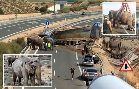Incredible pics show five elephants on the loose in Spain after a truck transporting them crashes, setting them free