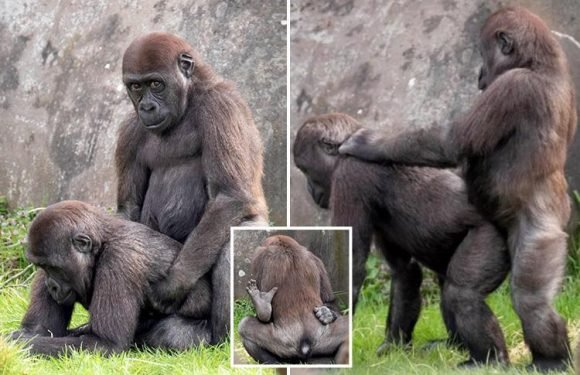 Pair of randy male gorillas caught getting frisky by shocked photographer