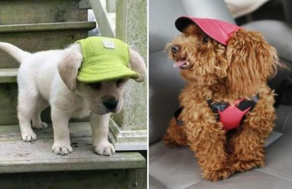 Doggie sunhats are now a thing and they are peak puppy cuteness