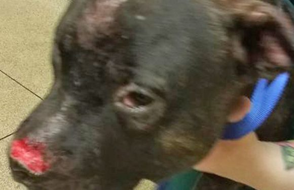 Stoned dog owner leaves pet with horrific injuries after biting him