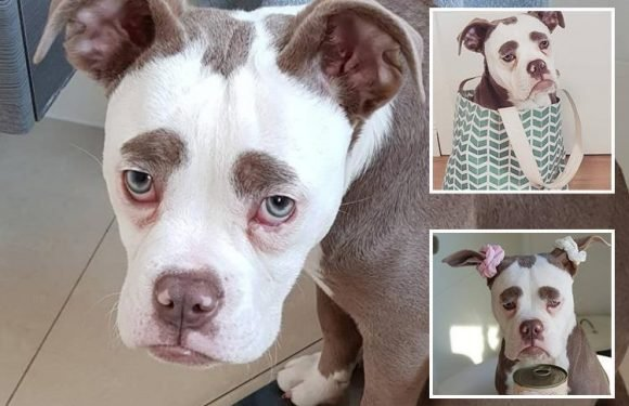 Celebrity dog Madame Eyebrows has the saddest face in the world — and already has 32,000 Instagram fans