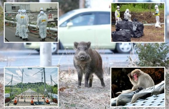 Japan 'covering up' Fukushima nuclear danger-zone radiation levels and blackmailing evacuees to return to radiated areas swarming with radioactive pigs and monkeys