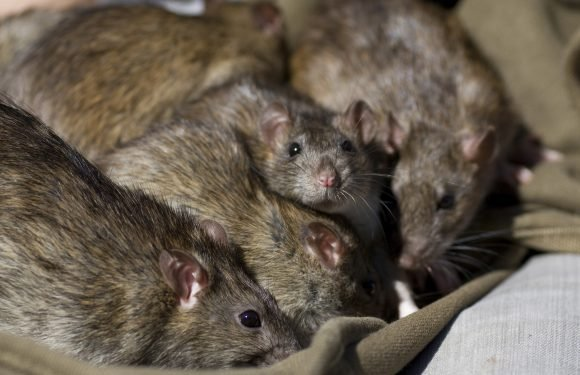 Rats living in abandoned store leave residents leaving in fear