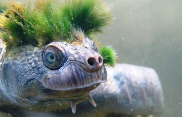 Turtle that breathes through its genitals is added to endangered list
