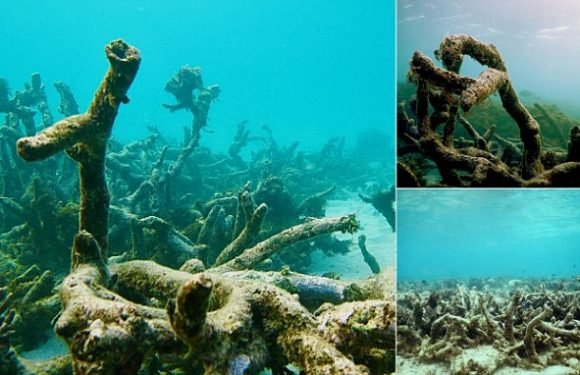 Dying corals no longer make noise mean baby fish get lost at sea