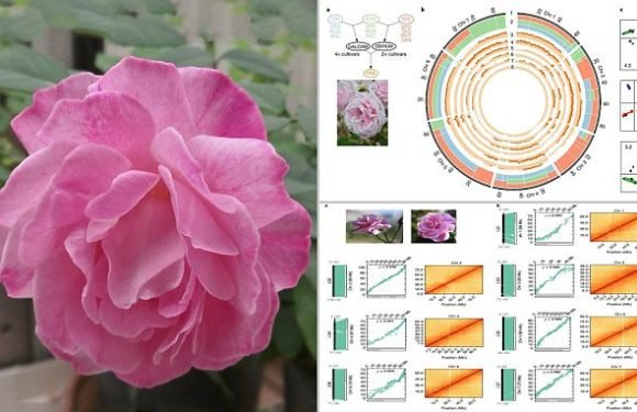 GM roses could smell sweeter, last longer and be more pest resistant