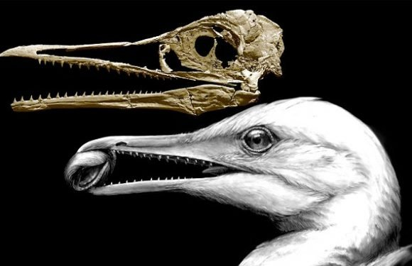 A 100m year old fossil of an Ichthyornis shows how birds evolved beaks