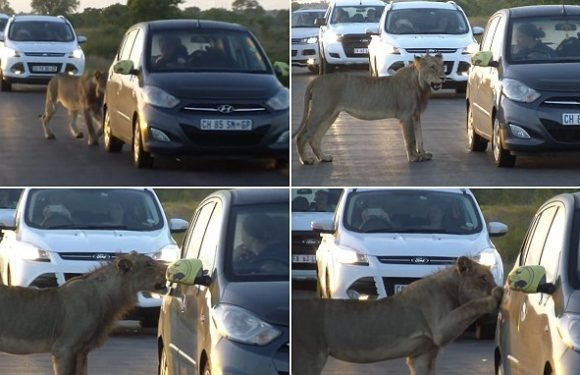 Terrifying moment a lion tries to open a car door with its teeth