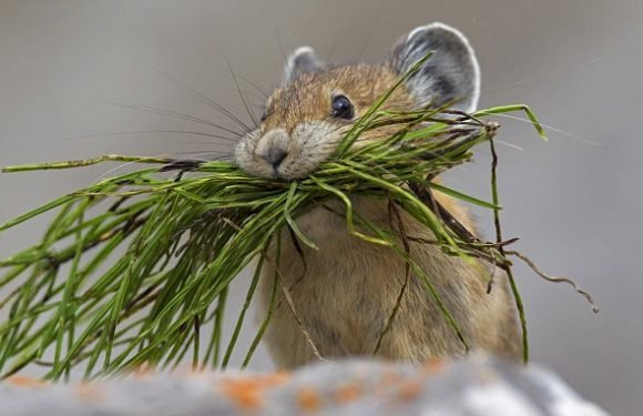 Pika can cope with climate change far better than expected
