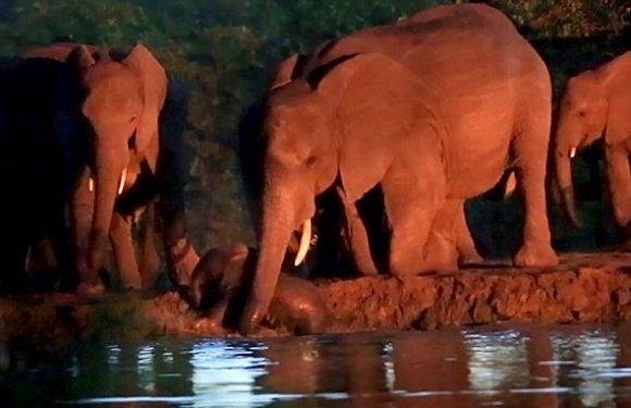 Herd of elephants work together help mother pull calf from river