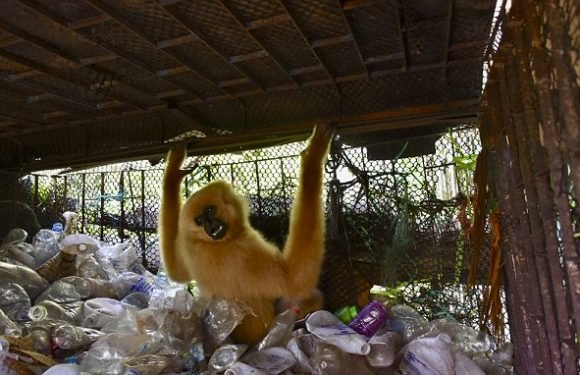 Gibbon is rescued from cage piled high with 10 YEARS of rubbish