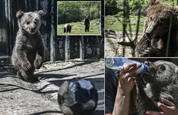 Abused bears are given a chance to recover at Greek sanctuary